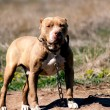 Pit bull guard - Stock Photo