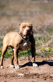 Pit bull guard — Stock Photo