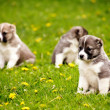 Stock Photo: Puppies