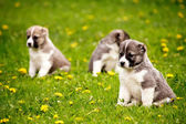 Puppies — Stock Photo