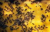 蜜蜂巢 — 图库照片