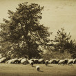 Stock Photo: Vintage sheep background