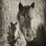 Vintage horses — Stock Photo