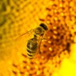 Stock Photo: Macro bee