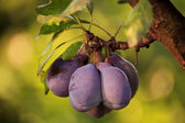 Blue plum — Stock Photo