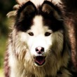 Malamute — Stock Photo