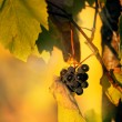 Grape in fall time — Stock Photo