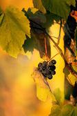 Grape in fall time — Stock Photo