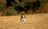 Dog in autumn meadows — Stock Photo