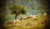 Herd with sheep  — Stock Photo