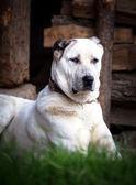 Alabai dog guard  — Stock Photo