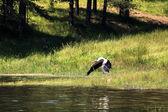 Stork over lake  — ストック写真