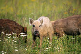Young boar  — Stock fotografie