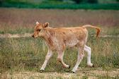 Vaca bebé — Foto de Stock