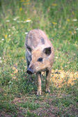 Young baby boar  — Stock Photo
