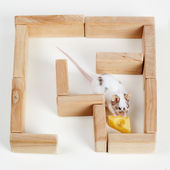 Smart mouse in maze looking for cheese — Stock Photo