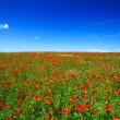 Beautiful poppy field — Stock Photo