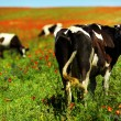 Green field with cows in summer — Stock Photo #28368089