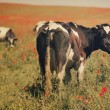 Green field with cows in summer — Stock Photo #28368401