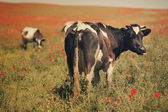 Green field with cows in summer — Stock Photo