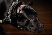 Big dog italian cane corso — Stock Photo