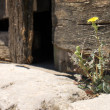 Dandelion on doorstep — Stock Photo