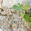 Fig in crack — Stock Photo