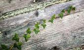 Ivy on the door — Stock Photo