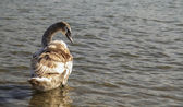 Cygnet — Stock Photo