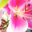Stock Photo: Pink lily closeup