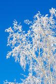 Frosty bříza strom — Stock fotografie