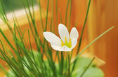 Flower of Zephyranthes white (Zephyranthes candida Herb) — Zdjęcie stockowe