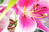 Pink lily closeup — Stock Photo