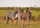 Tres cebras luchando — Foto de Stock