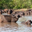 Stock Photo: Buffalo herd resting in waterhole