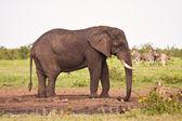 Single elephant standing at waterhole — Stock Photo