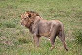 Leeuw mannelijke portret close-up — Stockfoto