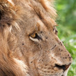 Lion male portrait — Stock Photo