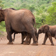 Elephant family crossing the road — Stock Photo