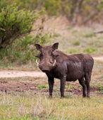 çamur ıslak warthog — Stok fotoğraf