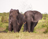 Two elephant having a mud bath splash — Stock Photo