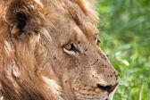 Lion male portrait — Stock Photo