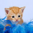Kitten lying snug in blue feathers — Stock Photo #15623009