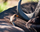 Yellow billed ox-pecker on buffalo — Stock Photo
