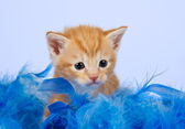 Kitten lying snug in blue feathers — Stock Photo