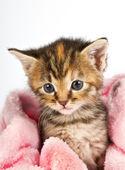 розовый одеяло, обернутые вокруг котенок — Стоковое фото