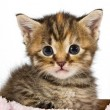 Kitten looking  adorable and cute - Stock Photo
