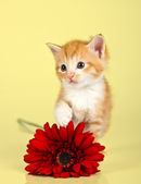 Cute kitten toughing a red flower — Stock Photo