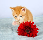 Little ginder kitten lifting his little paw — Stock Photo