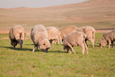 Herd of sheep feeding — Stock Photo
